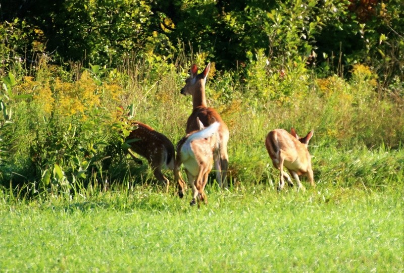 Famille de cerfs dans une prairie Img_3610