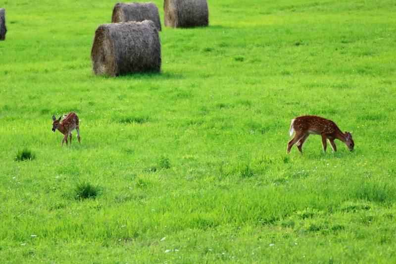 Famille de cerfs dans une prairie Img_4010