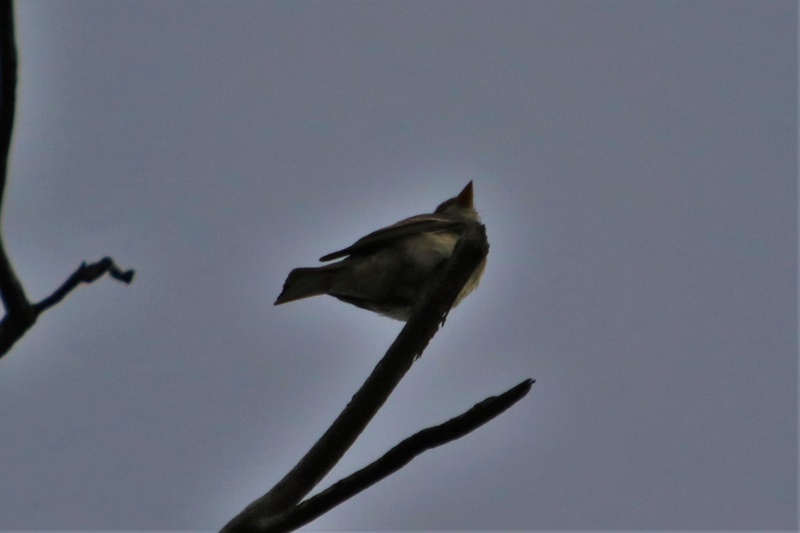 Oiseau mystère Img_4410
