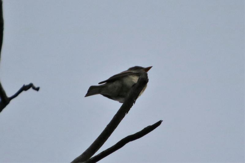 Oiseau mystère Img_4411