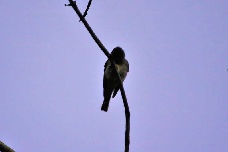 Oiseau mystère Img_4412