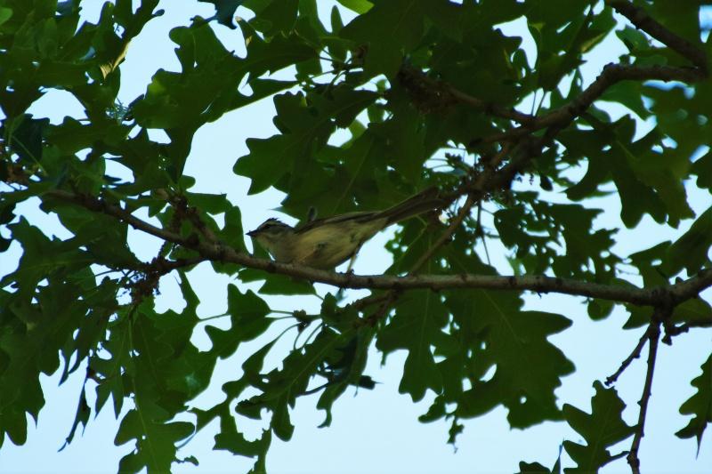 Oiseau mystère Img_7811