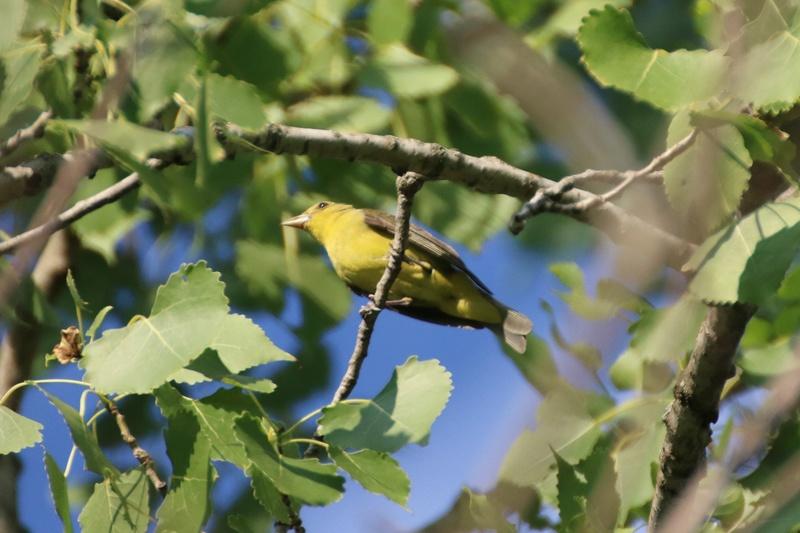 Quel est cet oiseau ? Img_8610