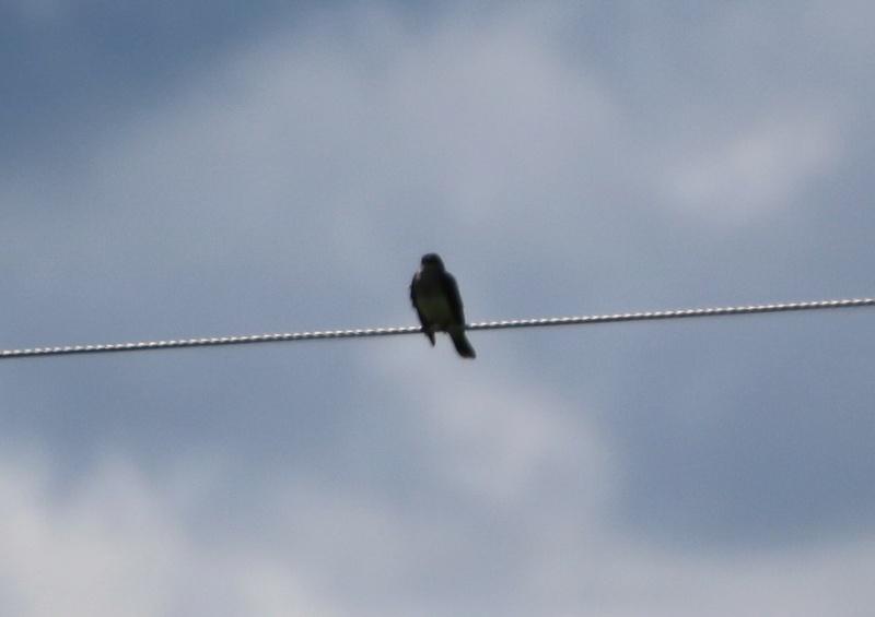 Oiseau aperçu sur un fil électrique Img_9811