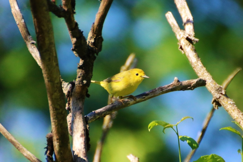 Paruline jaune femelle Paruli10