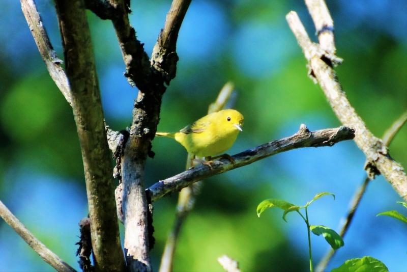 Paruline jaune femelle Paruli11
