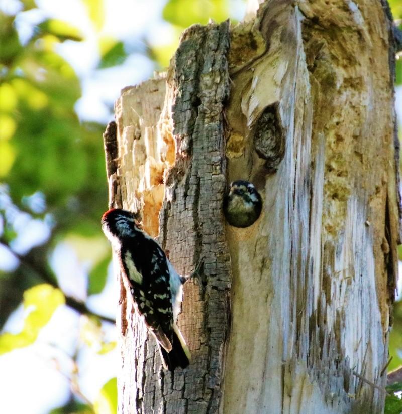 Pics mineurs à leur nid Superb12