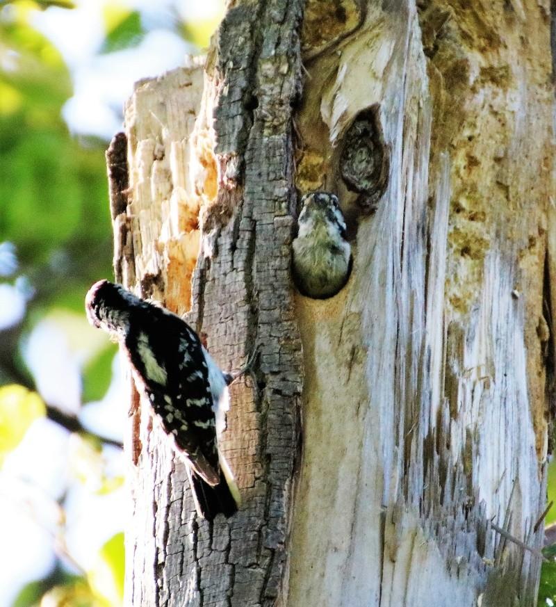 Pics mineurs à leur nid Superb13