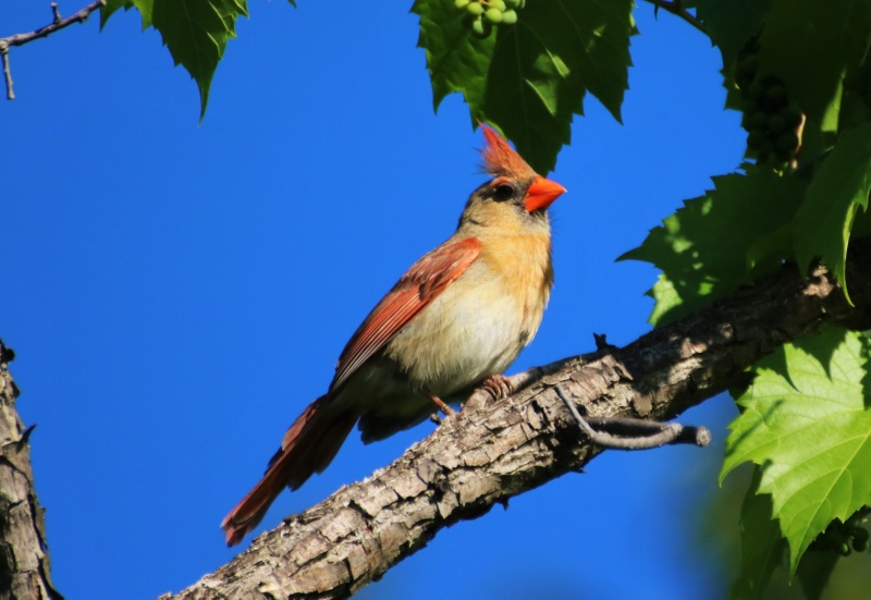 Cardinal rouge femelle Superb14