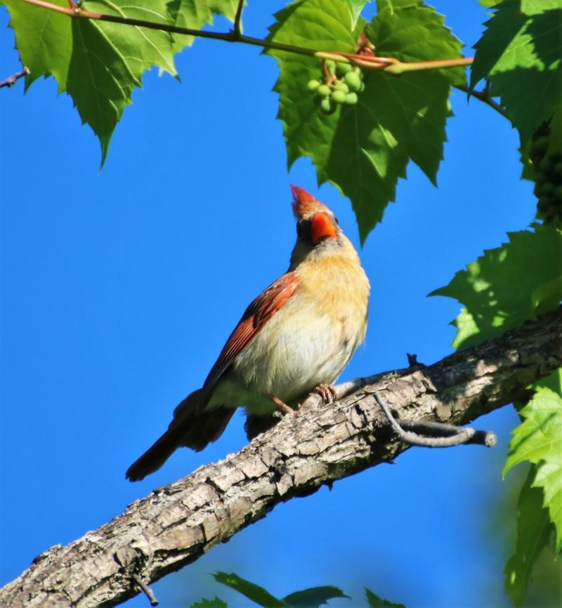 Cardinal rouge femelle Superb15