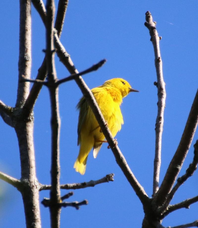 Paruline jaune Superb16