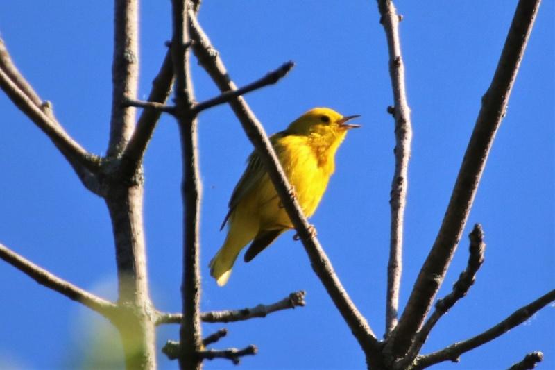 Paruline jaune Superb17