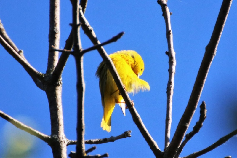 Paruline jaune Superb18