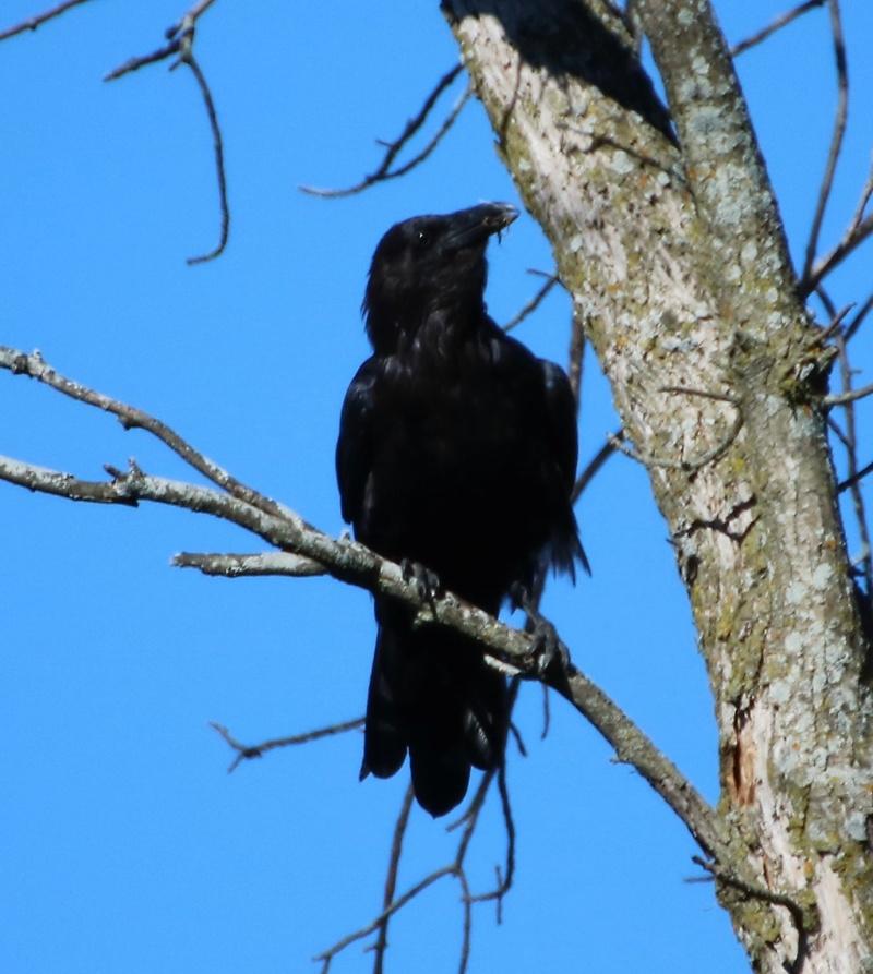 Grand corbeau Superb23