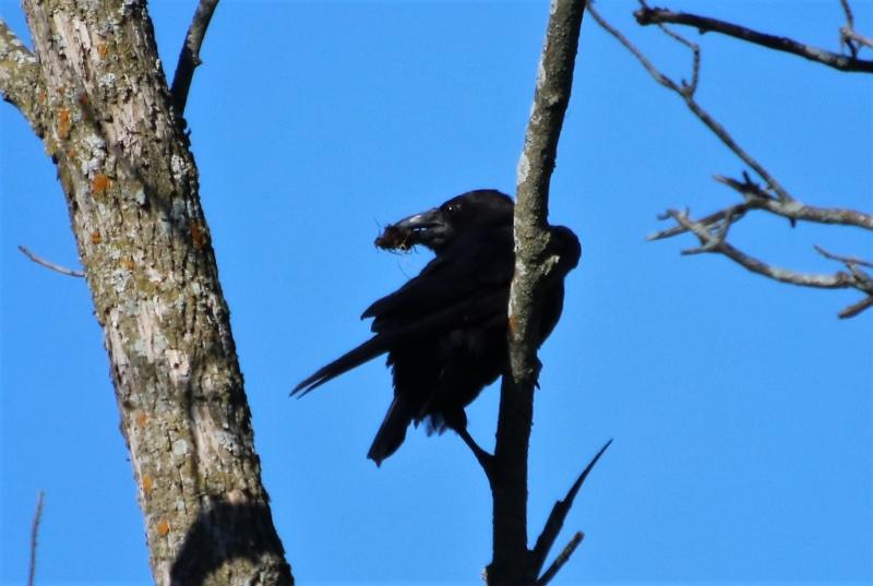Grand corbeau Superb24