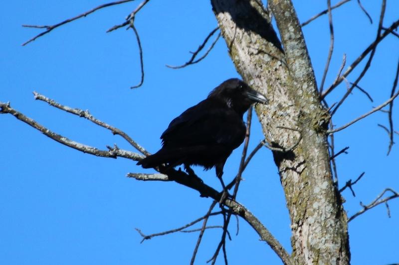 Grand corbeau Superb25