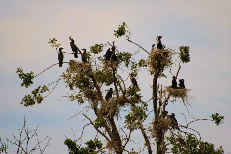 Colonie de cormorants à aigrettes Superb41