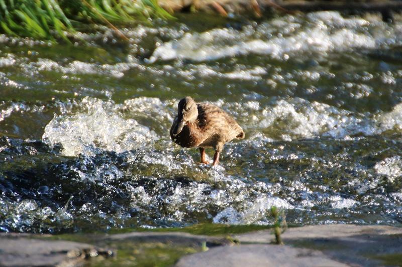 Canards colverts Superb59