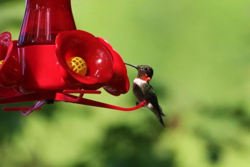 Colibri à gorge rubis Superb75
