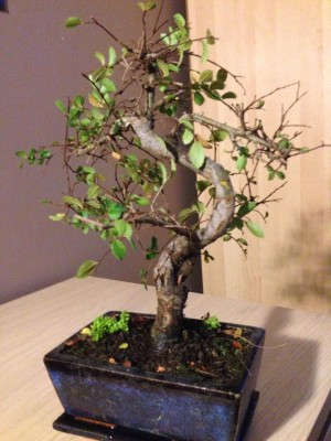 Dying looking Chinese Elm Chines12