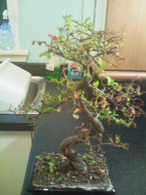Dying looking Chinese Elm Chines13
