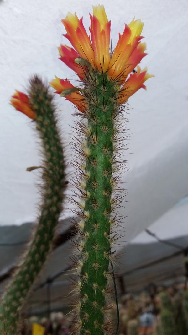 Micranthocereus hofackerianus Micran11