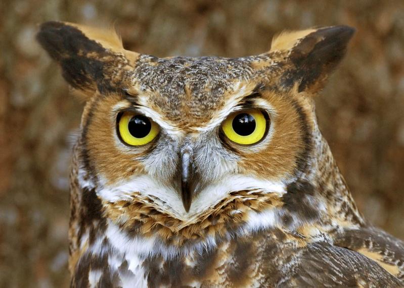 Votre type MBTI selon Youtopia ! Owl10