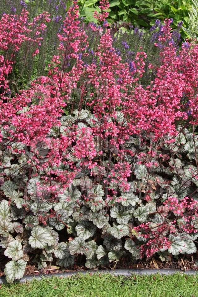 Les fleurs de nos jardins Heuche10
