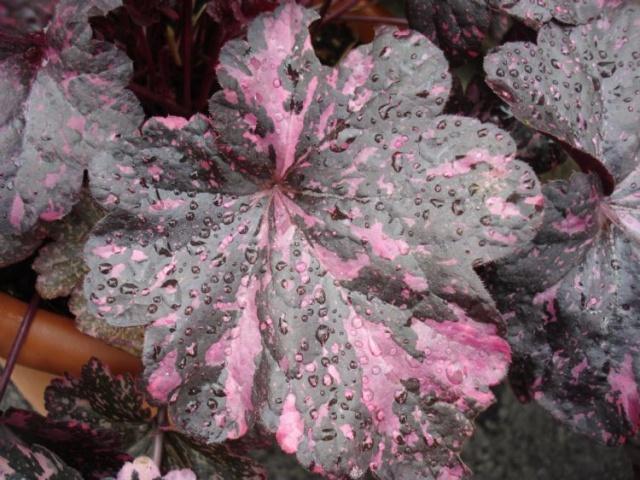 Les fleurs de nos jardins Heuche11