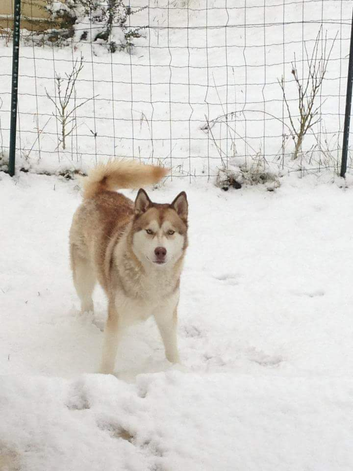LOULOU  malamute roux et blanc, 1 an REF:94 ADOPTE - Page 2 Fb_img13