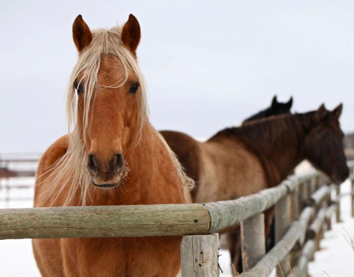 les chevaux.. - Page 15 Chevau10