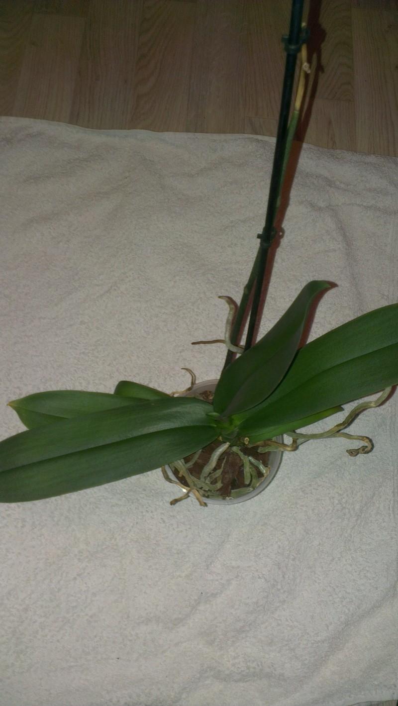Phalaenopsis ein Jahr ohne Blüherfolg Bild_v11