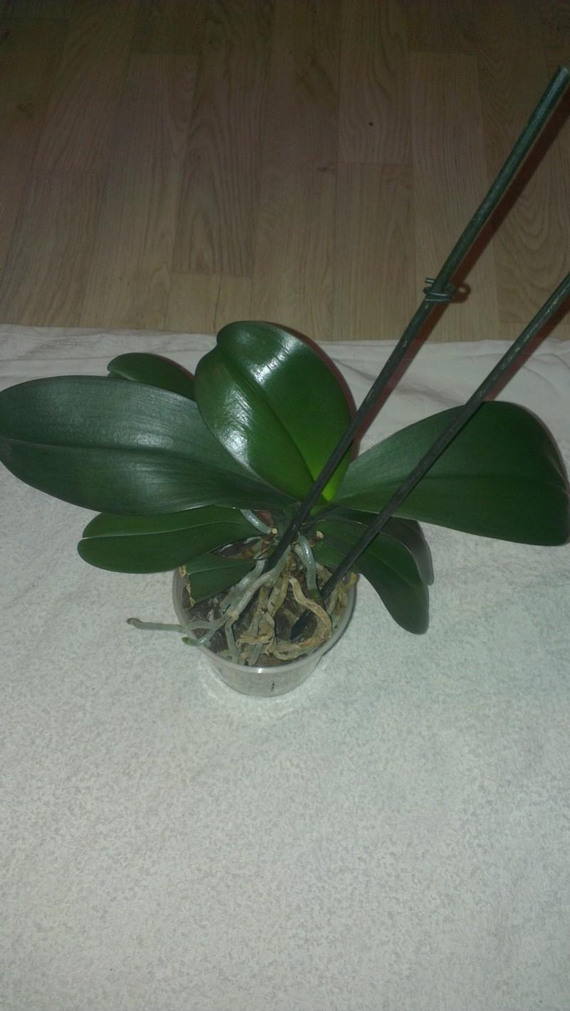 Phalaenopsis ein Jahr ohne Blüherfolg Nach_510