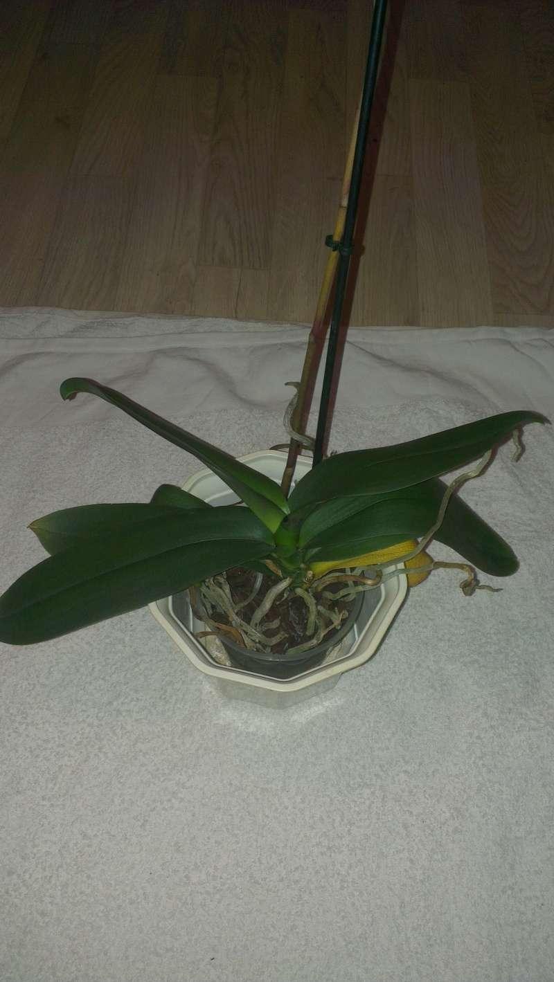 Phalaenopsis ein Jahr ohne Blüherfolg Nach_511