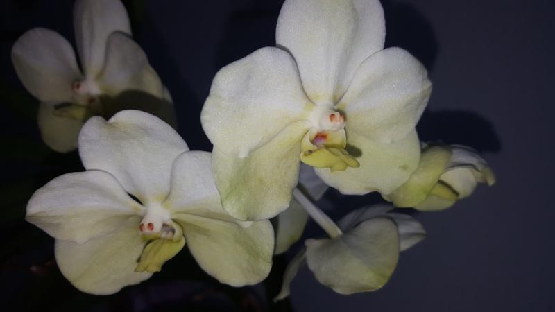 Meine Orchideen blühen  20160612