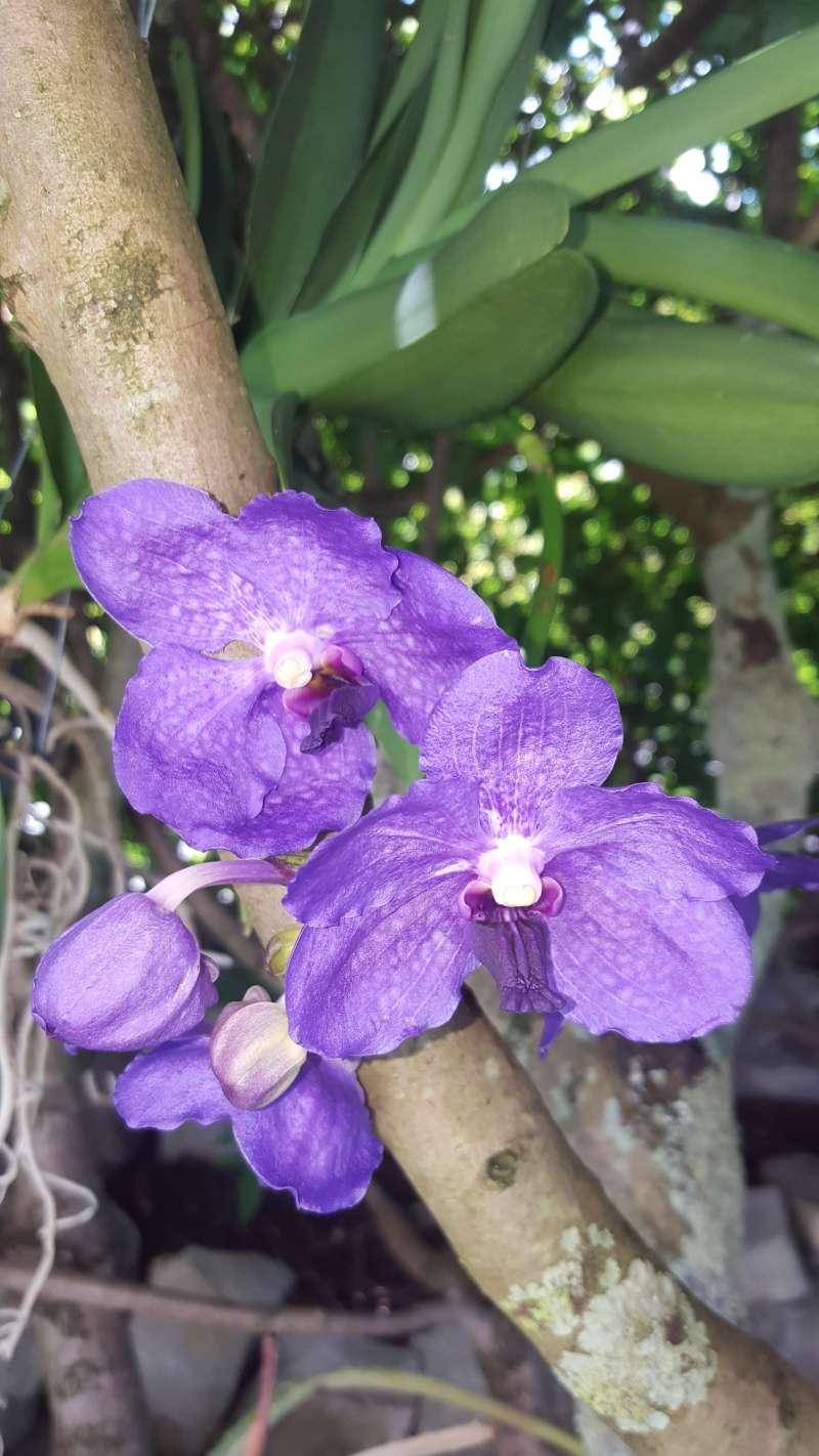 Meine Orchideen blühen  20160614