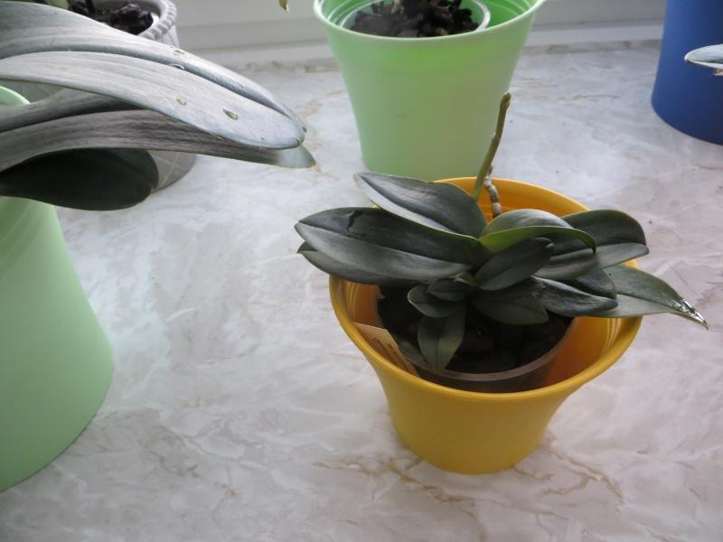 Phalaenopsis/Doritaenopsis siam treasure blue  Img_3510