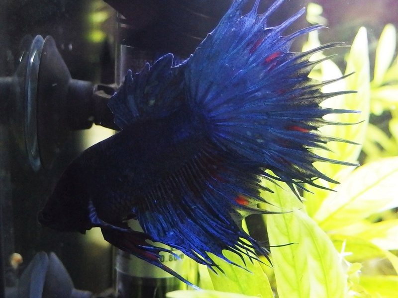 Betta Splendens - Bac 30 litres - Page 2 P8160011