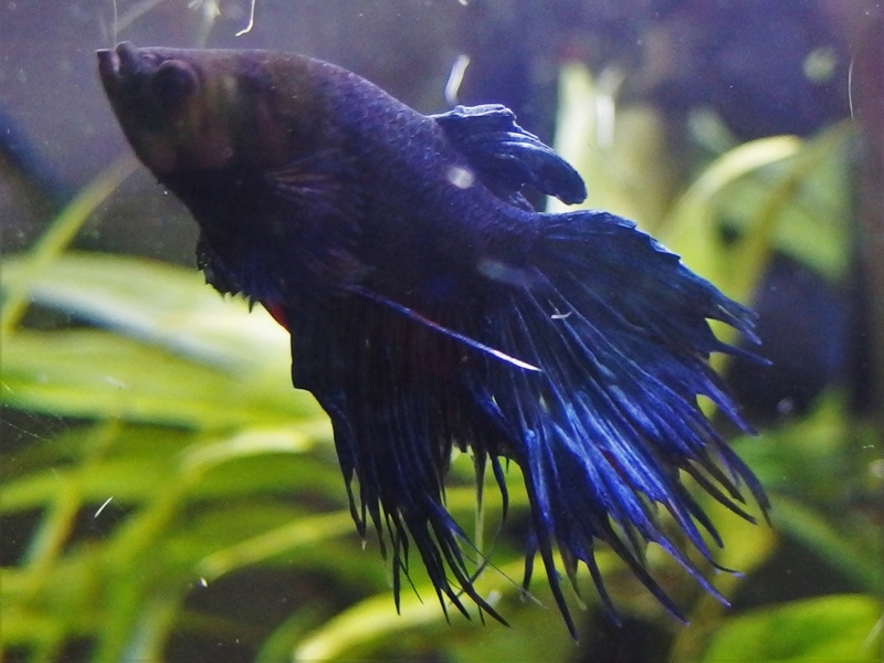 Betta Splendens - Bac 30 litres - Page 2 P8160012