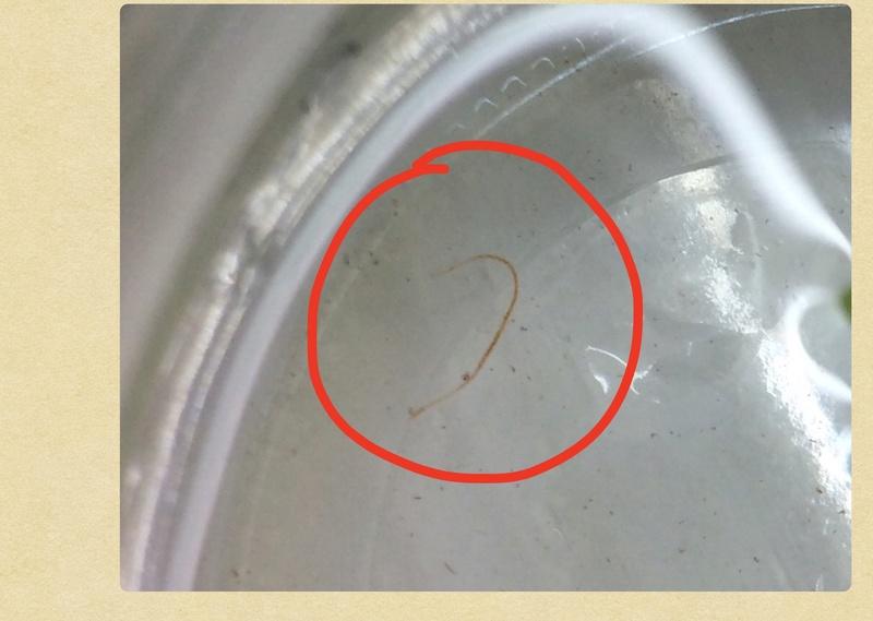 Hecatombe crevettes et vers blanc dans bac.?  Image15