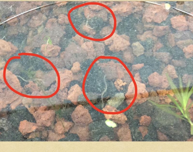 Hecatombe crevettes et vers blanc dans bac.?  Image16