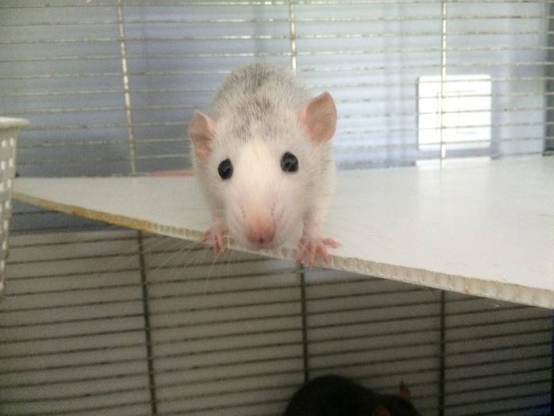 Donne deux rates d'environs 6 mois + cage Image10
