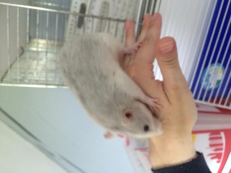 Donne deux rates d'environs 6 mois + cage Image11