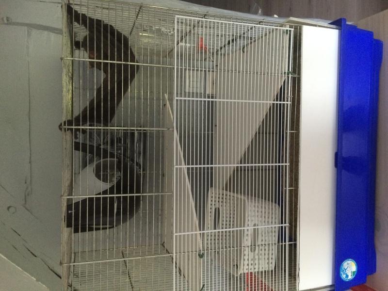 Donne deux rates d'environs 6 mois + cage Image12