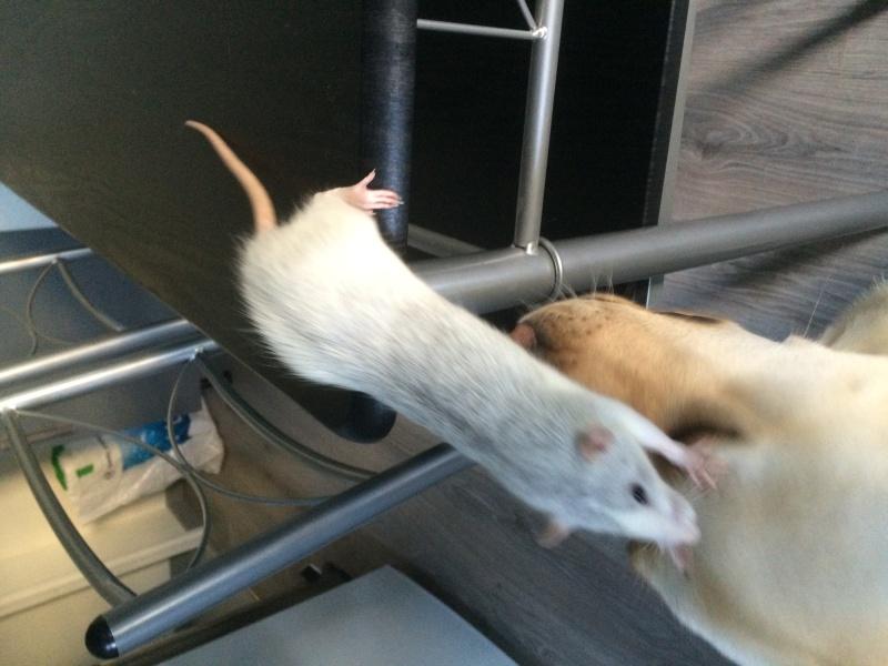 Donne deux rates d'environs 6 mois + cage Image16