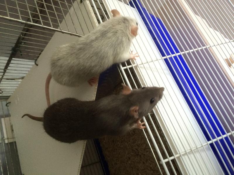 Donne deux rates d'environs 6 mois + cage Image20