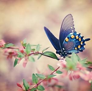 Nos amis les papillons (symbolique) - Page 3 Butter10