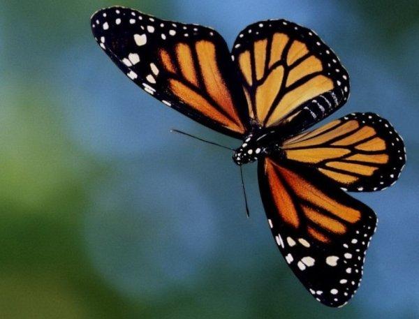 Nos amis les papillons (symbolique) - Page 2 Ob_97d10