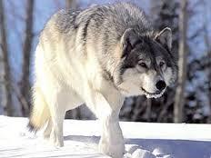 Loups-garous et loups  Loup10