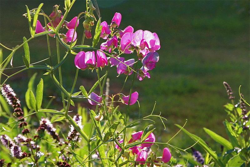 mon jardin à Avernes. Img_0010